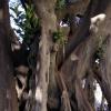 Ficus bicentenario
